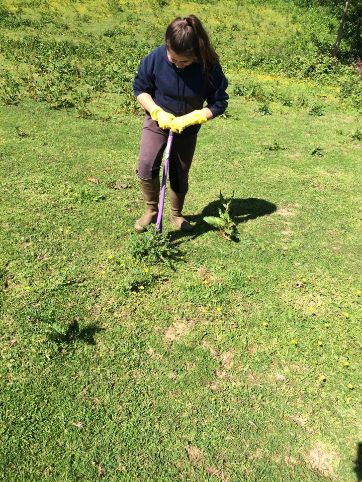 Digging up ragwort