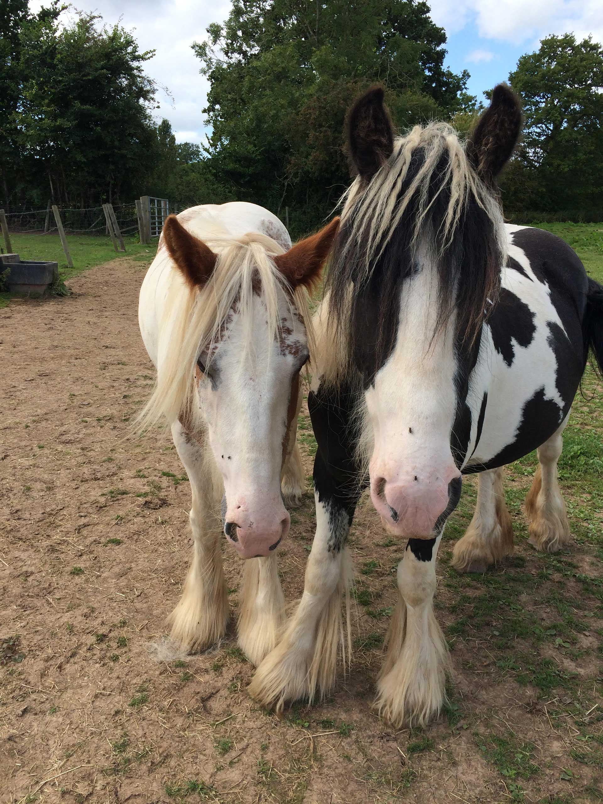 Two rescue horses in a field