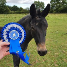 Mule being shown his rosette