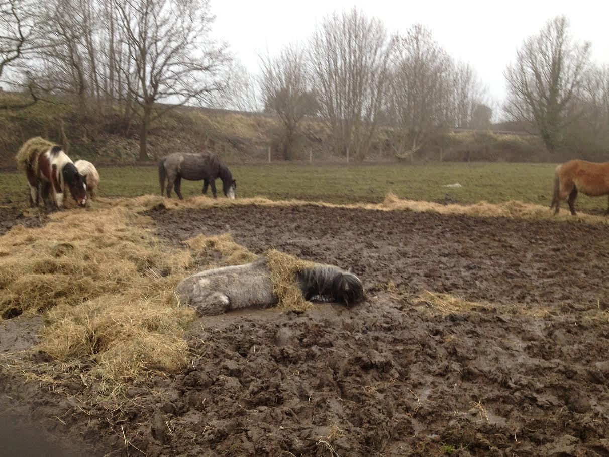 The drowned pony who was too weak to stank up after being knocked down by the others in the rush to eat