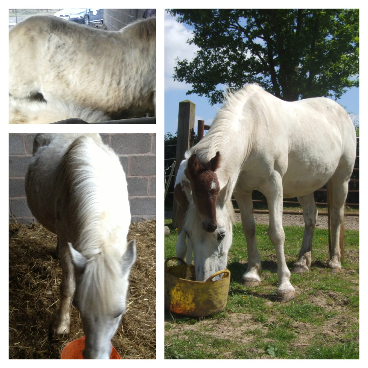 Ceiriad the horse from her rescue in February until foaling in June - meet Benjie