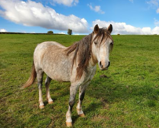 Heidi a pony left to starve in an empty stable and now, healthy, pretty but knotty.